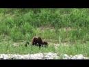 Встреча с медведями на трассе Сахалина