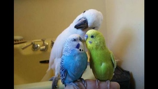 Funny Parrots Videos Compilation cute moment of the animals - Cute Parrots #1