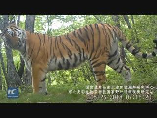 Редкие кадры семьи уссурийского (сибирского) тигра из провинции Цзилинь!