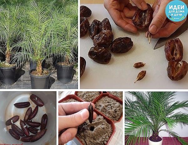 Как вырастить~финиковую пальму из семечки