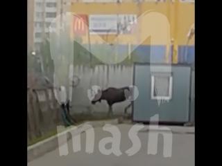 В Питере полиция и МЧС несколько часов ловили злого лося