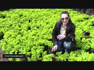 Барбарис Тунберга Тини Голд Барбарис -Школа цветоводства и садоводства