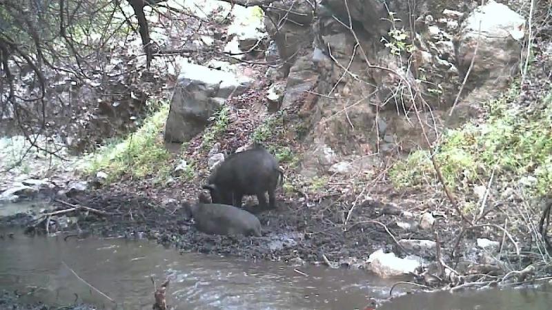 Wild pig wallow. Bronco Canyon