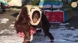Как орангутан Дана гуляет по снегу. Тайган Orangutan Dana walking in the snow. Taigan