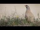 See-see Partridge » Ammoperdix video voice