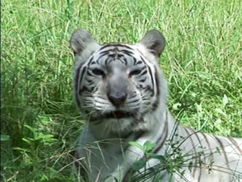Q Do TIGERS like catnip