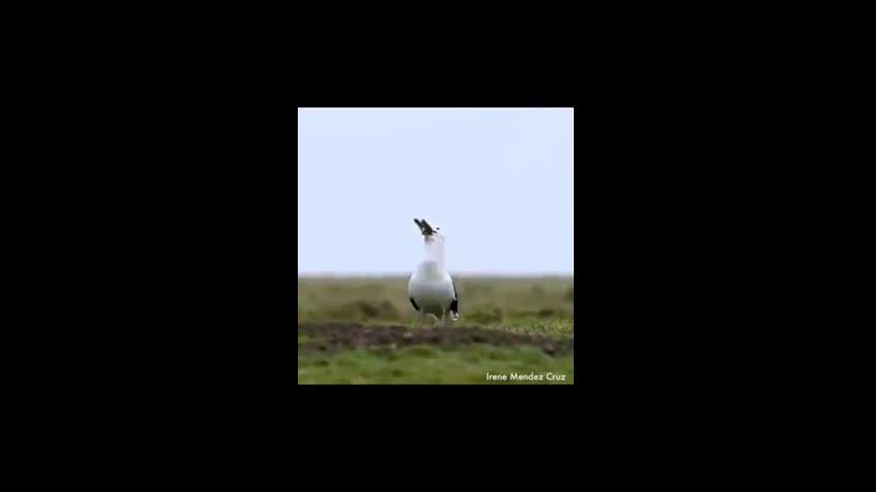 Большая морская черноспинная чайка проглотила полноценного взрослого кролика. Кадры снял Ирин Мендус Круз известный фотограф д
