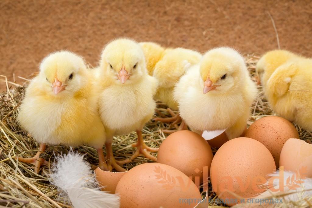 Курица когда насиживает яйца переворачивает их  около  50 раз в день.