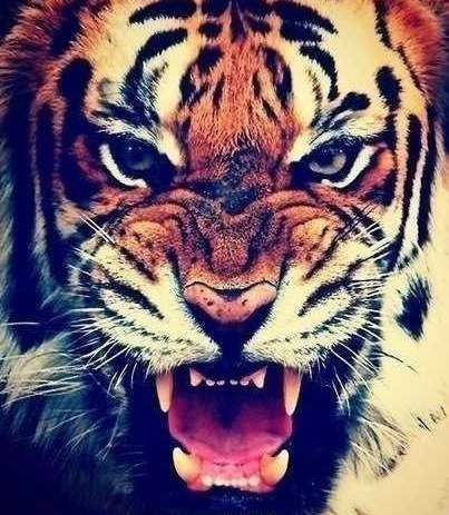 картинки тигры на аву: