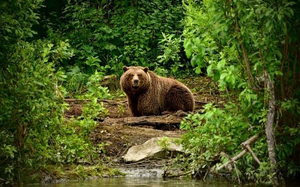 Хозяин тайги – медведь, а не человек