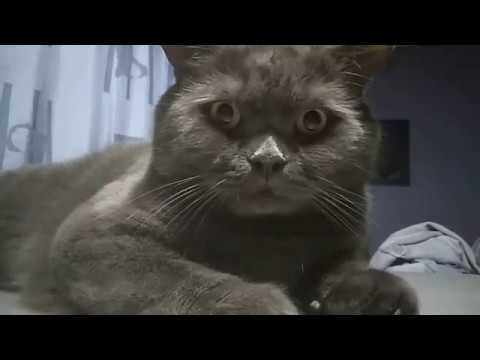 The British Shorthair cat fail LOL