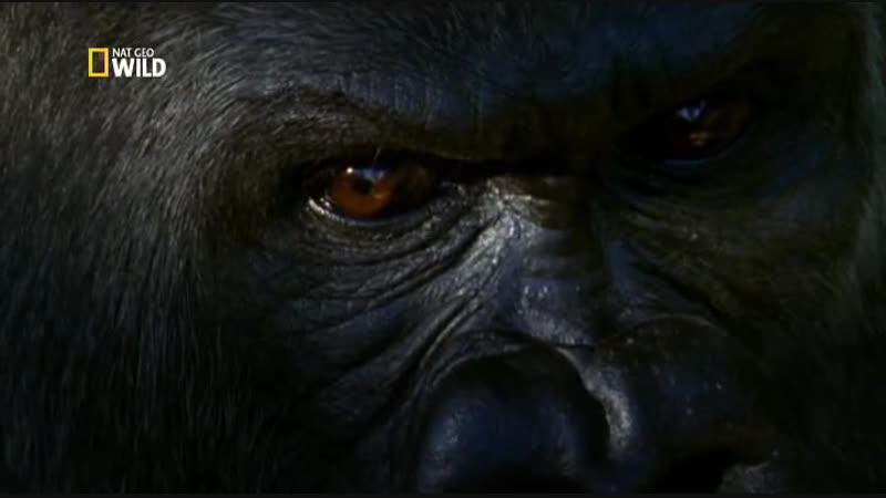 National Geographic: Королевство обезьян - Битва королей   1 серия из 2   2014   TVRip