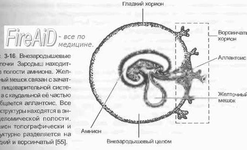 функцию плаценты в целом.