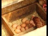 Домашние яйца - какие они? Птице ферма.