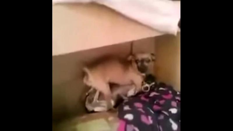 пёс с форча