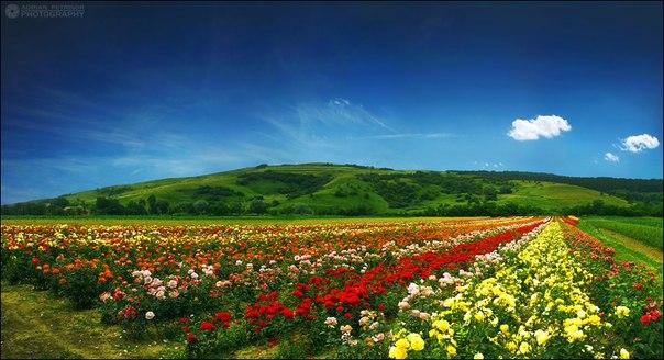 фото роз поля