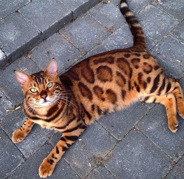 Тор — бенгальский кот с самой красивой шерстью из всех, что вы видели