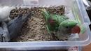 Птенцы выкормыши александрийского и ожерелового попугая