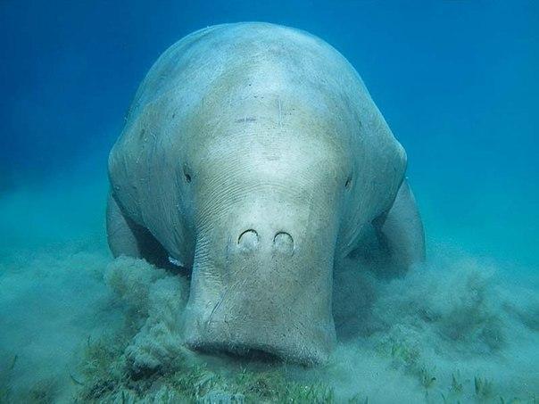Дюгонь - это водное млекопитающее является единственным представителем семейства дюгоневых отряда сирен.