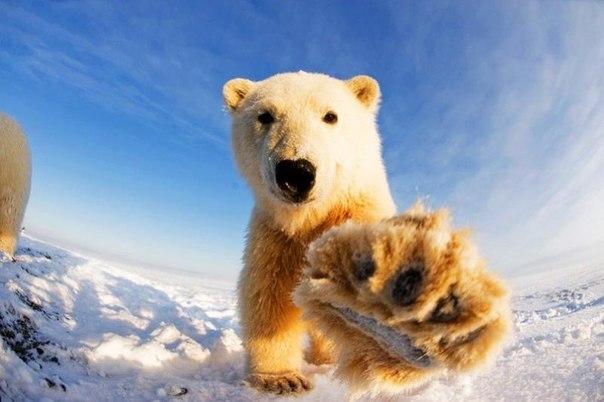 Любопытные белые медведи живут на Аляске