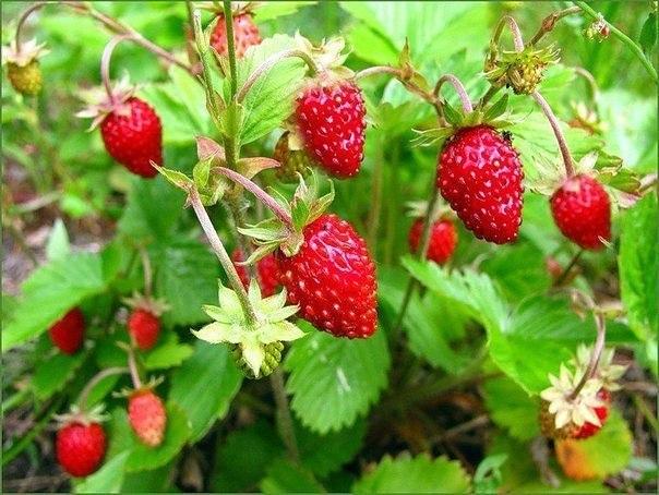 ЛЕСНАЯ ЗЕМЛЯНИКА Земляника - самая сладкая и ароматная из дикорастущих ягод. Она широко используется как в свежем, так и в переработанном виде. В народной медицине её ценят как лекарственное