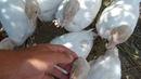 Выращивание индюков Биг 6 День 30 вес 2 кг