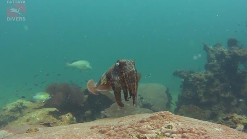 Каракатица на дайвсайте Белая скала острова Ко-Лан | Дайвинг в Паттайе