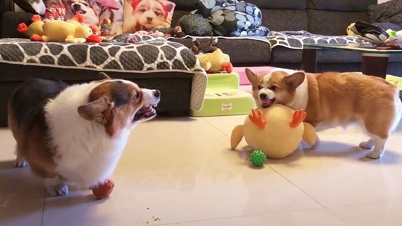 Sibling Rivalry Of Chubby Corgi Dogs