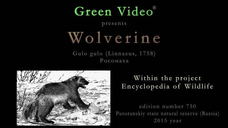 Wolverine gnawing on reindeer carcass Gulo gulo Росомаха. Green Video Wildlife