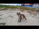 Песцы в вахтовых поселках на Ямале