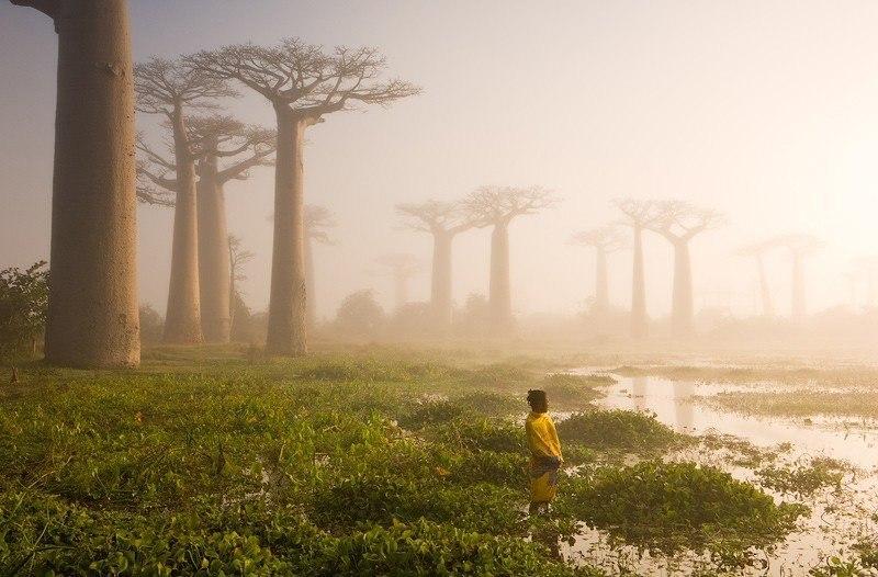 Ранее утро. Аллея баобабов. Мадагаскар. Волшебный вид.