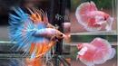 5 Jenis ikan Cupang Hias Terbaik untuk Kontes