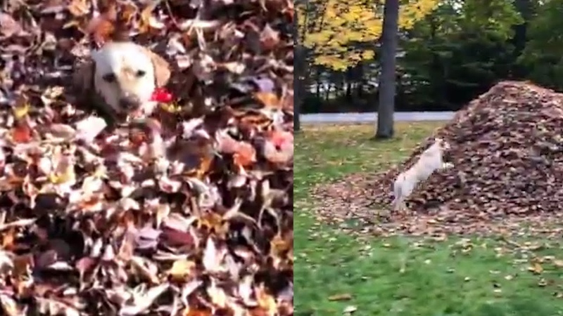 Dog Obsessed With Fall Loves Jumping Into Piles of Leaves