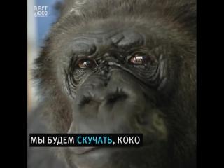 Умерла самая известная в мире горилла, говорившая на человеческом языке.