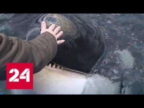 Косаткам и белухам из китовой тюрьмы придется зимовать в неволе Россия 24