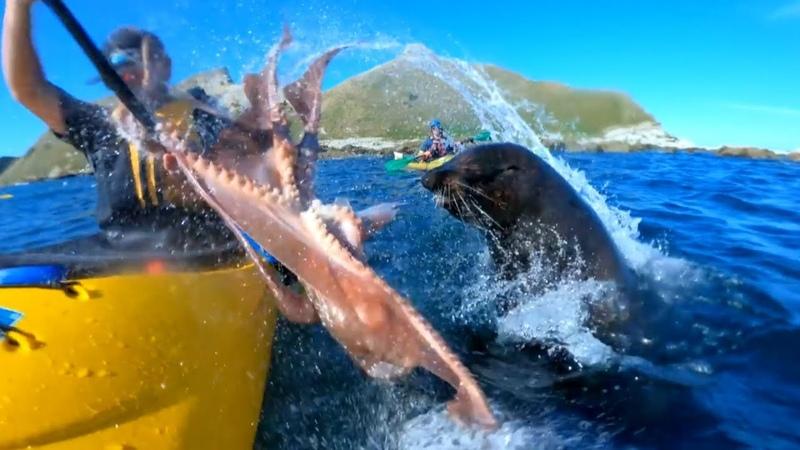 Морской бой тюлень ударил каякера по лицу... осьминогом