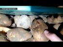 Таракан в картофеле Командор