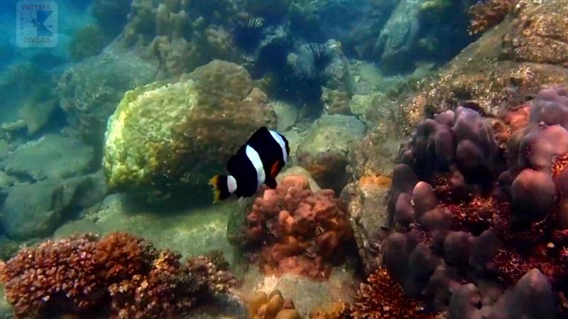 Рыбы-клоуны у острова Ко-Чуан | Дайвинг в Паттайе