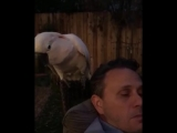 Cockatoo Makes Hissing Noise Next to Owners Ear - 986528