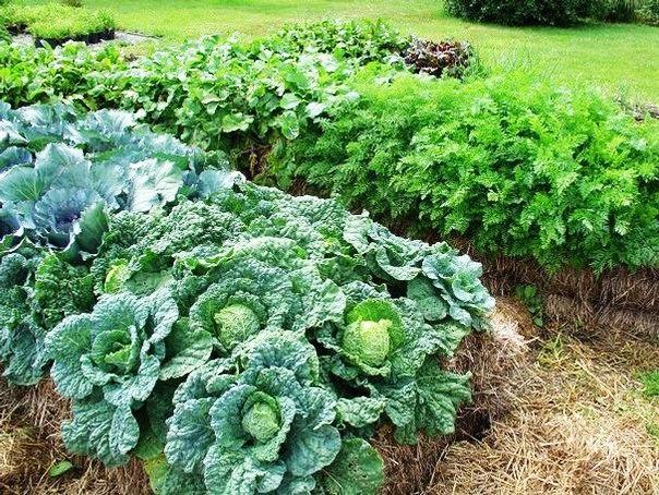 соломенные грядки для вашего сада «солома прекрасный материал, который можно назвать практически универсальным для тех, кто стремится жить на земле, заниматься естественным земледелием и