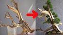 Bonsai Việt - Làm gì với những cây đã chết kỹ thuật Tanuki