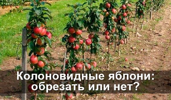 Колоновидные яблони: обрезать или нет