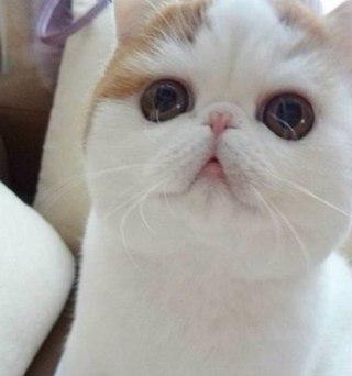 Где можно купить снупи кота в