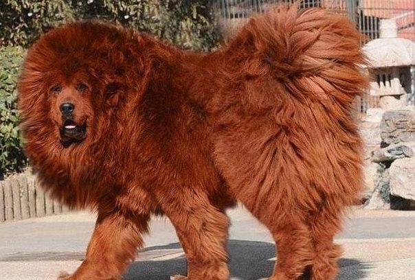 Тибетский мастиф по кличке Хун Дун, что означает «Большой всплеск», стал самой дорогостоящей собакой, когда-либо приобретенной в мире. Ее хозяин, китайский миллионер, приобрел щенка за 10 млн юаней – около 1,5 млн долларов.