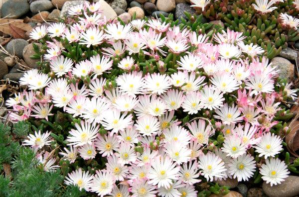 Лучшее растение для альпийской горки. Для того , чтобы украсить альпийскую горку, можно предложить десятки разнообразных растений. Чтобы горка всегда выглядела красивой и опрятной нужен