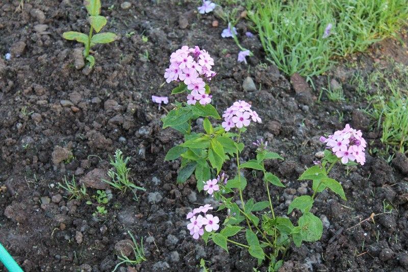 Фотоальбом «Осень - а что в саду и огороде»-Новые посадки Флоксов