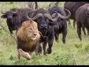 Мир животных Буйвол и Лев хозяин Африки