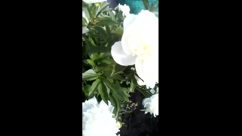 Белый Пион расцвел