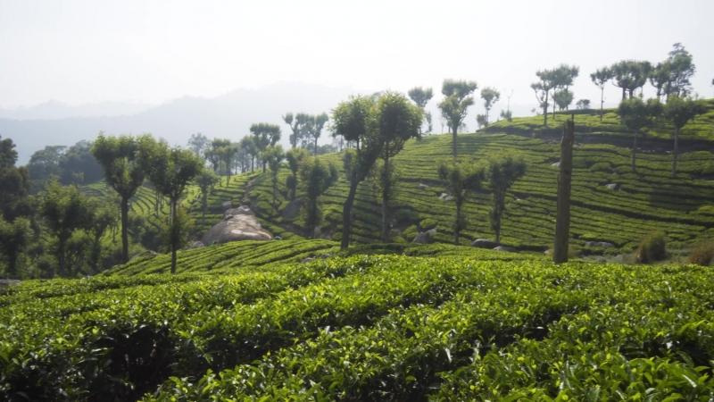 Чайная плантация Хавукул, Нилгири, Индия