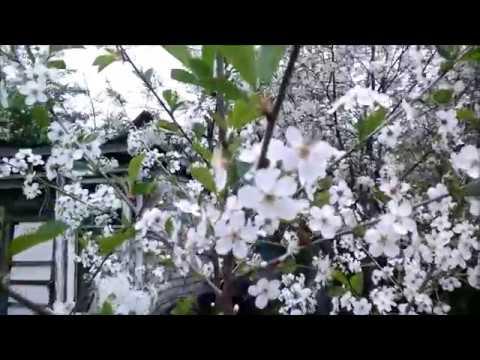 19мая, цветут деревья